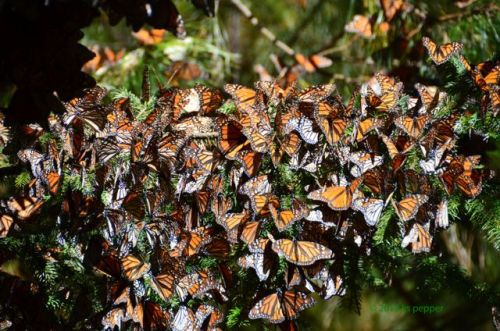 Clusters of Monarchs