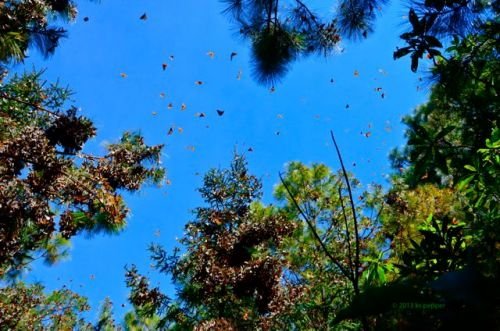 A sky filled with Monarchs