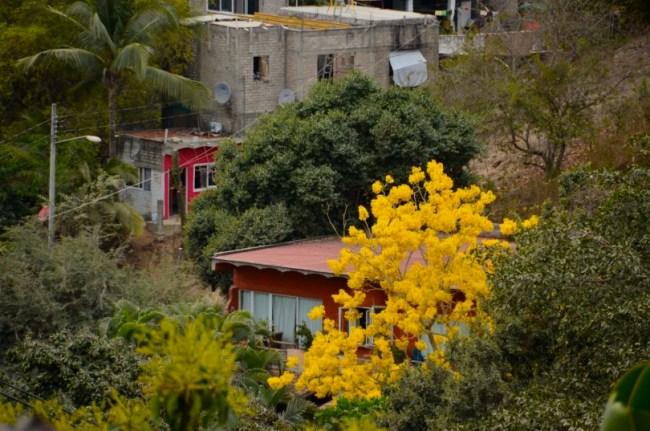 Primavera tree Sayulita Mexico