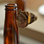 Butterflies and Pacifico