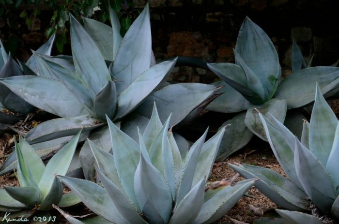 The fiber (Ixley) comes from the leaves of the Maguey (Agave) and is used to make rugs, bags, and sacks. Agua miel, Mezcal, comes from the heart of the plant. Tequila and Mezcal are post-Hispanic distilled drinks.