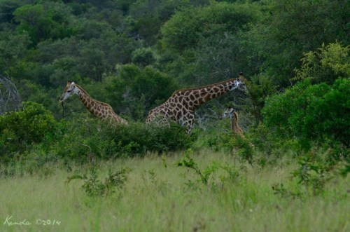 Baby giraffe with parents Kruger