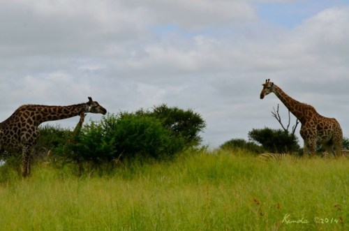 Sweet Thorn Acacia and giraffes at Kruger