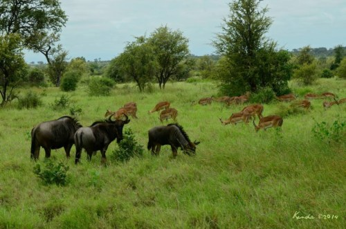 Blue Wildebeest herd,