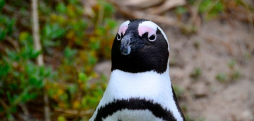 Penguins in South Africa?