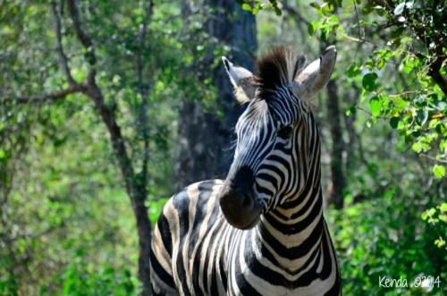 baby zebra marloth park