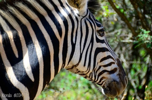 Zebra Marloth Park