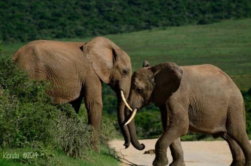 fighting elephants
