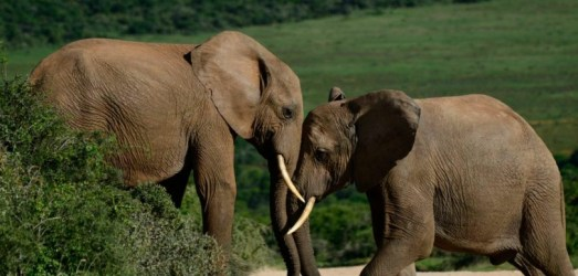 Elephants at Addo National Park