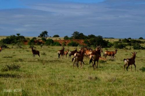 Herd of Red Hartebeest Addo National Park