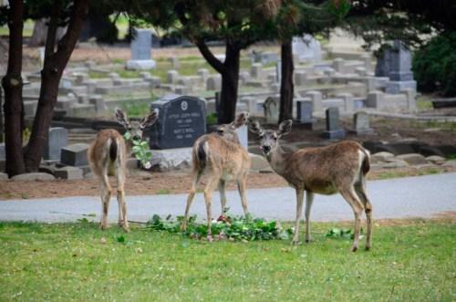deer roses