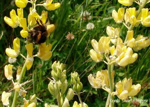 New Zealand Bumble Bee