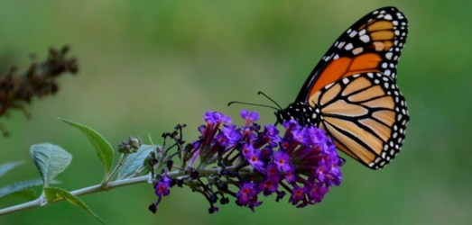 Love Thy Pollineighbor:  Seven Practical Tips for Going Wild with Habitat