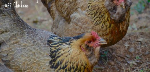 54 Reasons I'm Vegan: Chickens (#22) and Turkeys (#23)