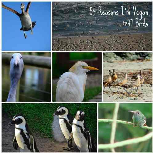 54 Reasons I'm Vegan_Birds