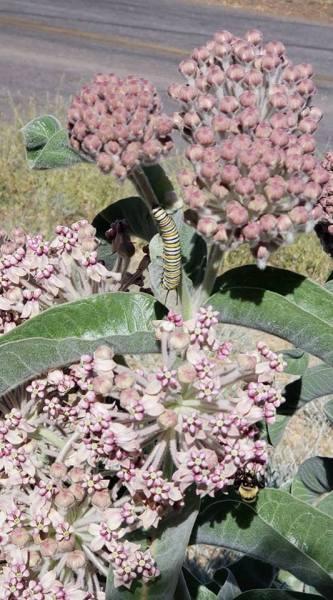 Monarch butterfly caterpillar on  Asclepias eriocarpa (Erosa) milkweed near Tehachapi, CA.