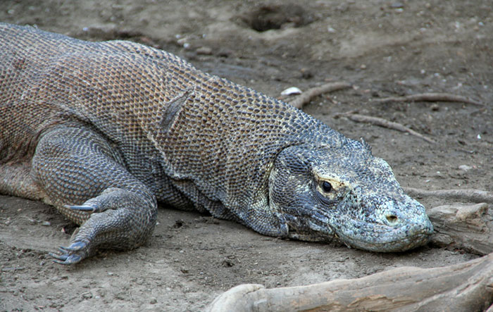 dragon komodo cool things to do in flores indonesia