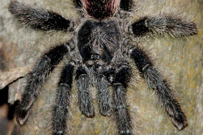 tarantula Peruvian Amazon. How to get to Iquitos