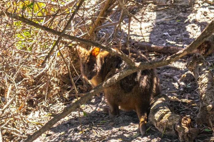 Pademelon Northern Tasmania