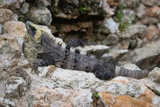 Leguan in Uxmal