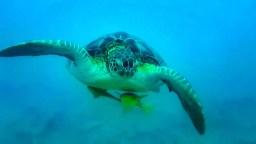 Schildkröte Akumal