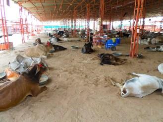 Cow Hospital Nagaur