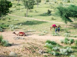 Kamele Bikaner