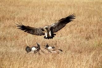 Geier ankommen Masai Mara