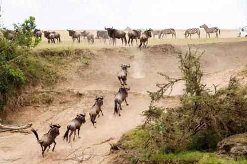 Gnus Masai Mara