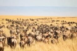 Große Tierwanderung Masai Mara Gnus