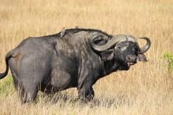 Wasserbüffel Kenia