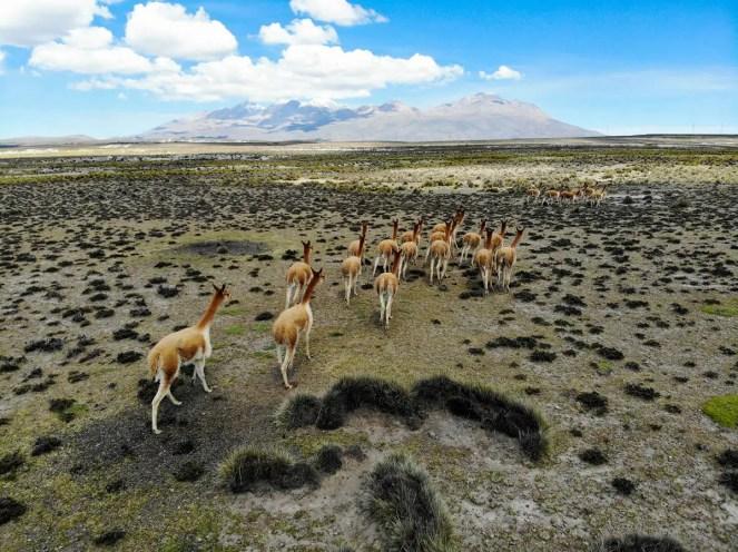 Vicuñas laufen auf der Pampa von der Drohne weg