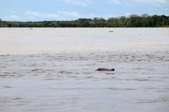 Amazonasdelfin in Peru