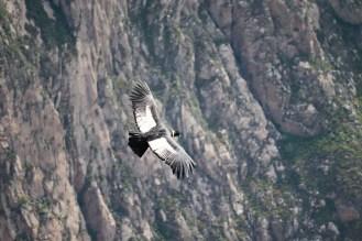 Andenkondor fliegt über Colca Canyon