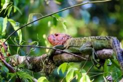 Grüner Leguan mit rotem Kopf