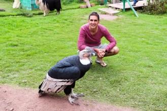 Großer Andenkondor im Ccochahuasi Animal Sanctuary