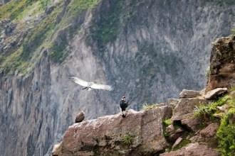 Kondore am Mirador Cruz del Condor