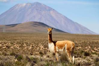 Vicuña im Salinas y Aguada Blanca National Reserve