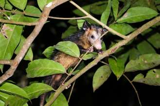 Opossum Amazonas
