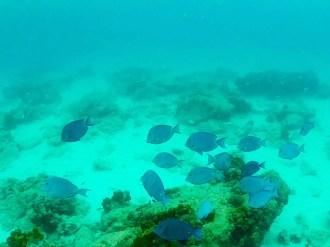 Blaue Fische Boca Catalina