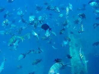 Fische am SS Antilla