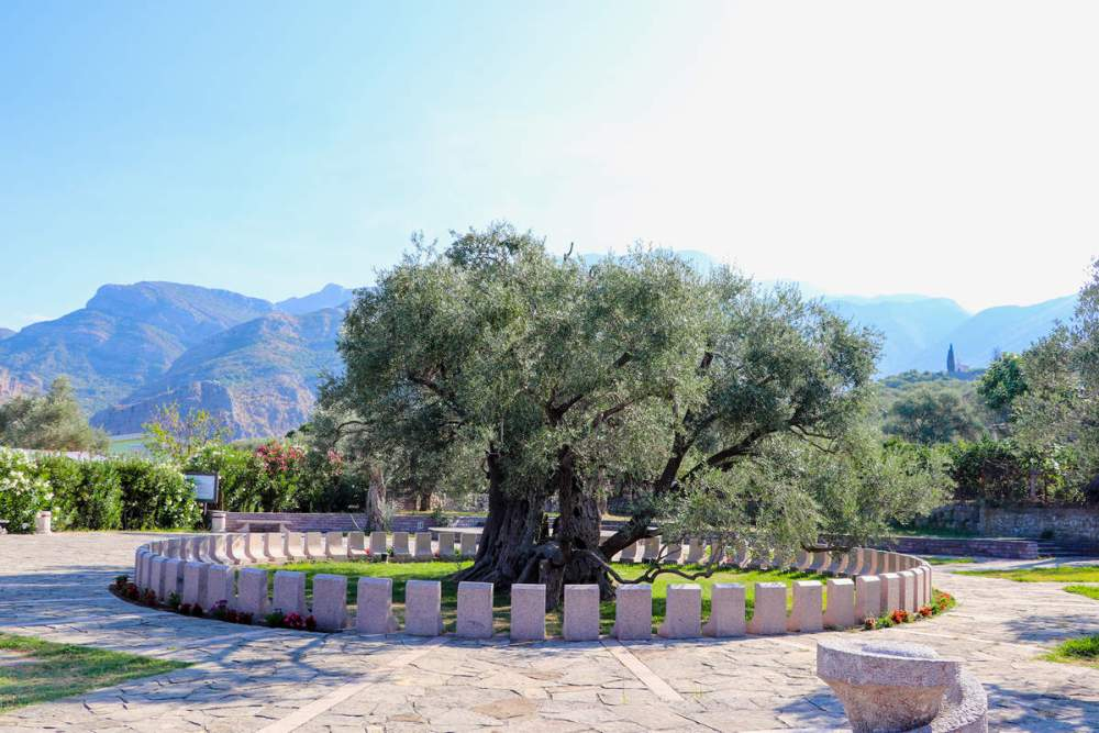 Olivenbaum Bar Montenegro