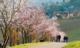 Rheinland-Pfalz:  Almond Blossom Festival