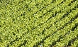 Sagra dell'uva – Marino's Grape Festival, Rome
