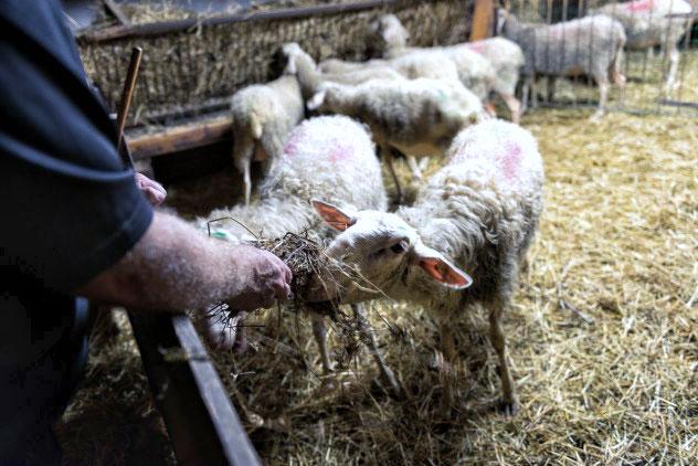 Silvio hand-feeds his sheep