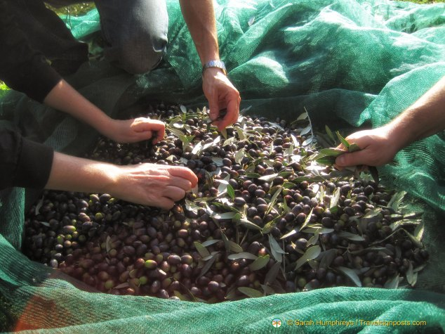 Cleaning the olives