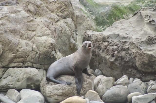 Seal Colony, Ohau, Kaikoura, New Zealad