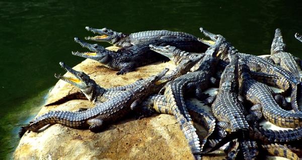 Mamba-Village-Crocodiles