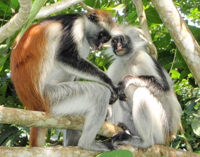Red Colobus Monkeys in Jozani Forest Why You Should Visit Zanzibar