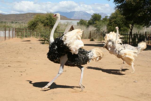 Ostrich Farm Oudsthoorn